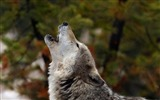 Title:howling wolf-Photo HD Wallpaper Views:1618