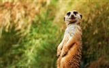 Title:meerkat funny sitting-Photo HD Wallpaper Views:1524