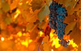 Title:Autumn black grapes-fruit food wallpaper Views:1237