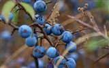 Title:Autumn black grapes-fruit food wallpapers Views:1578