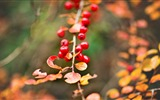 Title:Berries red branch autumn-High Quality HD Wallpaper Views:954