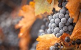 Title:Black Grapes Dry Leaves-fruit food wallpaper Views:1367