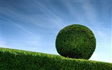 Title:Buxus boxwood-Nature Photo HD Wallpaper Views:2314