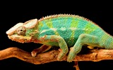 Title:Chameleon color tail-High Quality HD Wallpaper Views:741