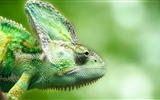 Title:Chameleon forest lizard-Photography HD wallpaper Views:1248