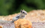 Title:Curious chipmunk-Photography HD wallpaper Views:2106