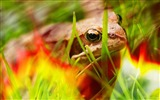 Title:Frog Grass Macro-Photography HD wallpaper Views:1605