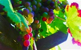 Title:Grapes Leaves Shade light-fruit food wallpaper Views:1448