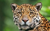 Title:Jaguar face macro-Photography HD wallpaper Views:1796