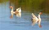 Title:Lakes geese-Photography HD wallpaper Views:1765