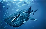Title:Ocean whale blue-Photography HD wallpaper Views:1756