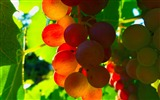 Title:Red Grapes Leaves Sunlight-fruit food wallpaper Views:1328