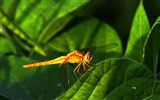 Title:Summer animal dragonfly desktop wallpaper Views:3040