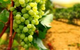 Title:White Grapes Farm-fruit food wallpaper Views:1238