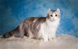Title:American curl cat fluffy-Animal Photo HD Wallpaper Views:1483