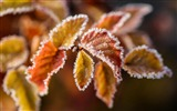 Title:Branches leaves frost-High Quality HD Wallpaper Views:1146