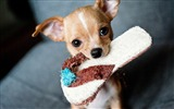 Title:Chihuahua slippers muzzle-Animal Photo HD Wallpaper Views:969