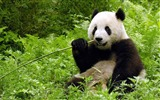 Title:Cute Chinese panda photography HD wallpaper 01 Views:953