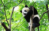 Title:Cute Chinese panda photography HD wallpaper 02 Views:1084