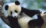 Title:Cute Chinese panda photography HD wallpaper 03 Views:1017