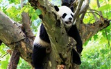 Title:Cute Chinese panda photography HD wallpaper 04 Views:960
