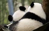 Title:Cute Chinese panda photography HD wallpaper 06 Views:995