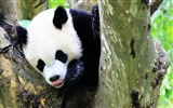 Title:Cute Chinese panda photography HD wallpaper 07 Views:960