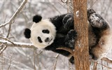 Title:Cute Chinese panda photography HD wallpaper 08 Views:856