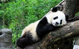 Title:Cute Chinese panda photography HD wallpaper 09 Views:984