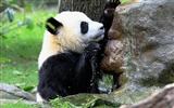 Title:Cute Chinese panda photography HD wallpaper 10 Views:952