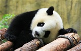 Title:Cute Chinese panda photography HD wallpaper 11 Views:1036