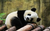 Title:Cute Chinese panda photography HD wallpaper 12 Views:856