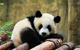Title:Cute Chinese panda photography HD wallpaper 13 Views:914