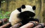 Title:Cute Chinese panda photography HD wallpaper 14 Views:903