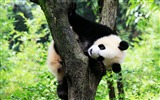 Title:Cute Chinese panda photography HD wallpaper 15 Views:867