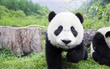 Title:Cute Chinese panda photography HD wallpaper Views:4394