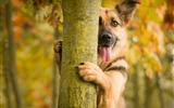 Title:Dog tree protruding-Animal Photo HD Wallpaper Views:1038