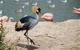 Title:Grey crowned crane lake-Animal Photo HD Wallpaper Views:1427