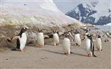 Title:Happy penguins beach-Animal Photo HD Wallpaper Views:1208