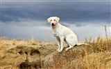 Title:Happy white retriever-Animal Photo HD Wallpaper Views:1086