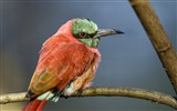 Title:Perched bee eater-Animal Photo HD Wallpaper Views:1221