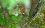 Title:Red fox in the forest-Bing Desktop Wallpaper Views:1982