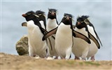 Title:Antarctica King Penguins Animal HD Wallpaper 01 Views:1202