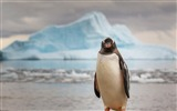 Title:Antarctica King Penguins Animal HD Wallpaper 07 Views:1334