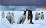 Title:Antarctica King Penguins Animal HD Wallpaper 08 Views:1310