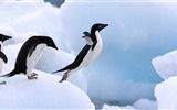 Title:Antarctica King Penguins Animal HD Wallpaper 10 Views:1144