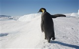 Title:Antarctica King Penguins Animal HD Wallpaper 11 Views:1187