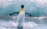 Title:Antarctica King Penguins Animal HD Wallpaper 12 Views:1114
