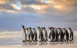 Title:Antarctica King Penguins Animal HD Wallpaper 13 Views:1163