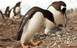Title:Antarctica King Penguins Animal HD Wallpaper 14 Views:994